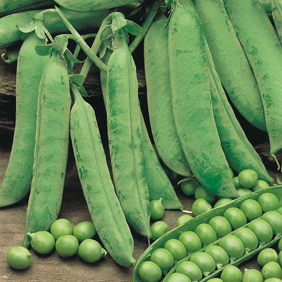 Pea Seeds - Douce Provence