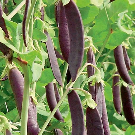 Pea (Sugar Pod) Seeds - Shiraz