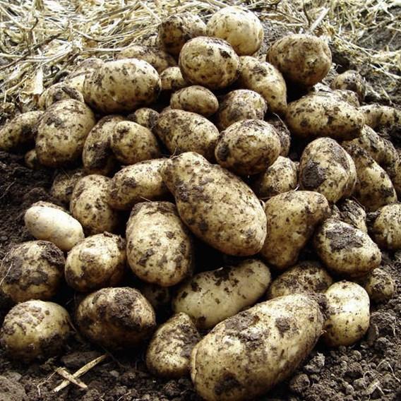 Seed Potatoes - Arran Pilot