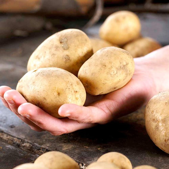 Seed Potatoes - Second cropping - Maris Peer 1kg
