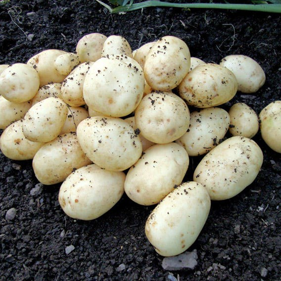 Seed Potatoes - Accord 1kg