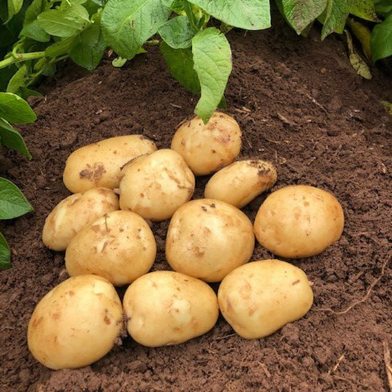 Seed Potatoes - Acoustic 1kg