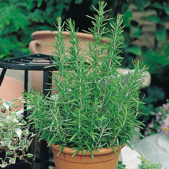 Herb Plant - Rosemary