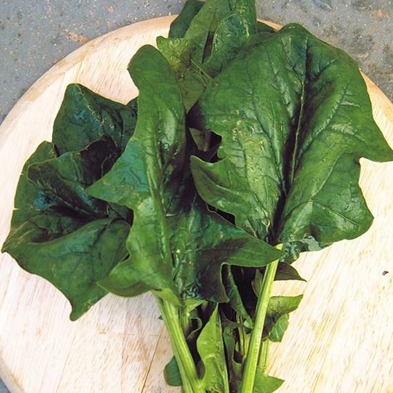 Spinach Koto F1