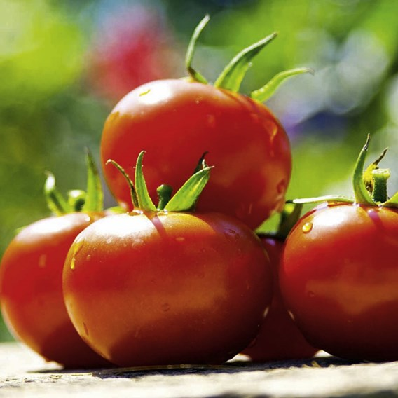 Tomato Seeds - Cossack F1