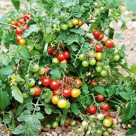 Grafted Tomato Plants - F1 Lizzano