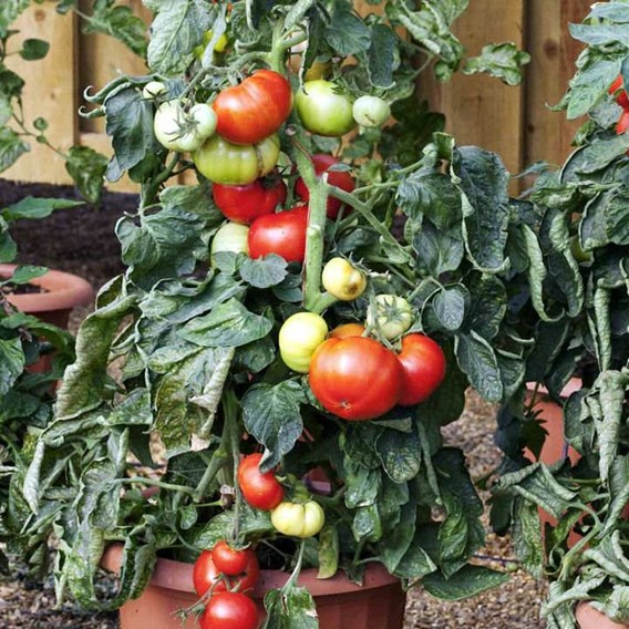 Tomato Seeds - Big League F1