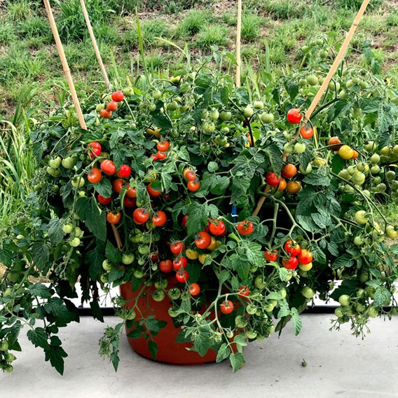 Tomato Baby Boomer (3)