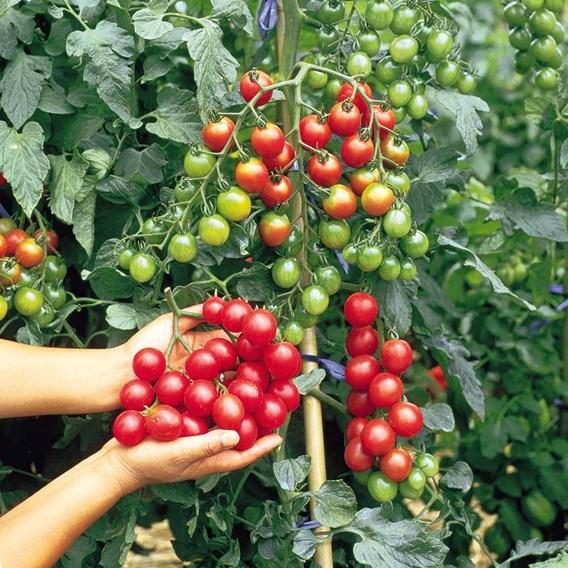 Tomato Plants - Grow Bag Collection