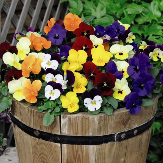 Viola Plants -  Most Scented Mix