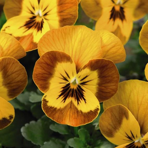 Viola Plants - F1 Sorbet Honeybee