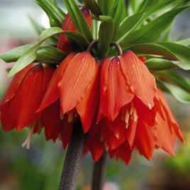 Fritillaria Imperalis Red