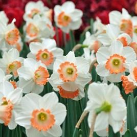 Daffodil Bulbs - Passionale