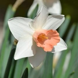 Daffodil Bulbs - Pink Pride