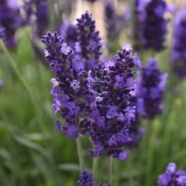Lavender Plants - Blue Spear
