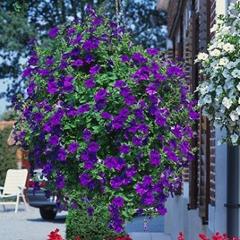Petunia Plants - Surfinia Blue (3)