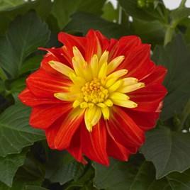 Dahlia Plants - Gardenetta Fireball