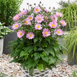 Anemone Plant - Fantasy Pocahontas