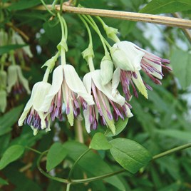 Clematis Napaulensis Plants