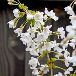Prunus incisa Kojo-No-Mai