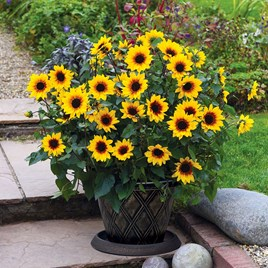 Sunbelievable Sunflower Plant