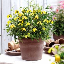 Clematis Plant - Little Lemons