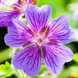 Geranium x magnificum Plant