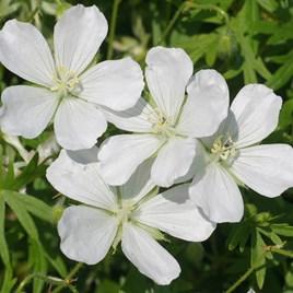 Geranium sanguineum Alba