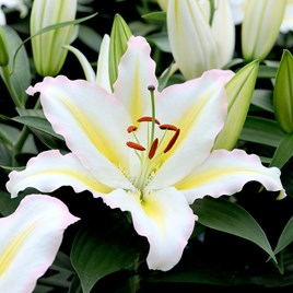 Lily Primrose Hill 5 Bulbs