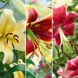 Tree Lily Collection (9) MF/D/H