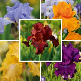 Iris Re-Blooming Bare Roots - Collections