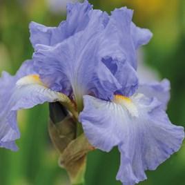 Iris Victoria Falls  (Re-Blooming)