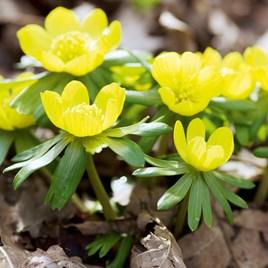 Eranthis Hyemalis (Winter Aconite) Bulbs