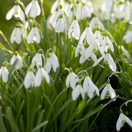 Galanthus (Snowdrop) Single Flowered 25 Bulb In The Green