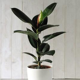 Ficus Indian Rubber Plant 12cm Pot x 1