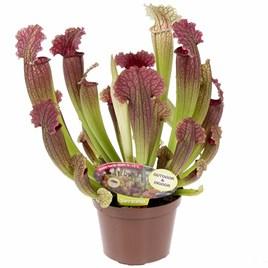 Sarracenia (Pitcher Plant) Leucophylla 12.5cm Pot