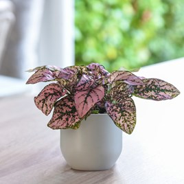 Hypoestes phyllostachya (Polka Dot Plant) Pink 9cm Pot x 1