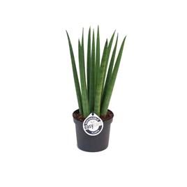 Sansevieria cyl. Straight (African Spear Plant) 9cm Pot x 1