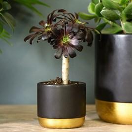 Aeonium arboreum on stem 9cm pot x 1