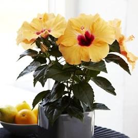 Hibiscus Apricot 13cm Pot x 1