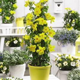 Mandevilla Yellow 10.5cm Pot x 1