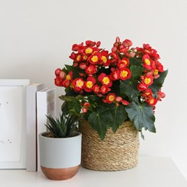 Begonia Valentino Pink 14cm Pot x 1