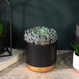 Echeveria Curly Pearl