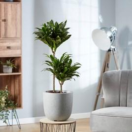 Dracaena (Dragon Tree) Fragrans Compacta 19cm Pot