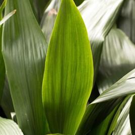 Aspidistra (Cast Iron Plant) Elatior