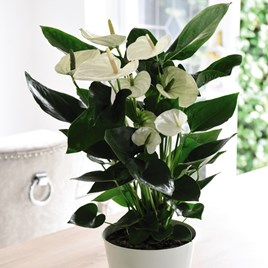 Anthurium andreaeanum White