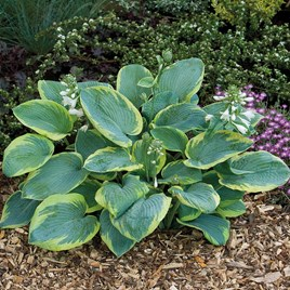 Hosta Frances Williams 1 Bare Root Size 1