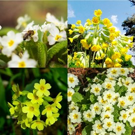 Primula Veris and Vulgaris