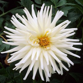 Dahlia Decorative Tu Tu