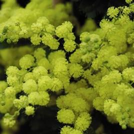 Acacia (Mimosa) Dealbata Mini Standard